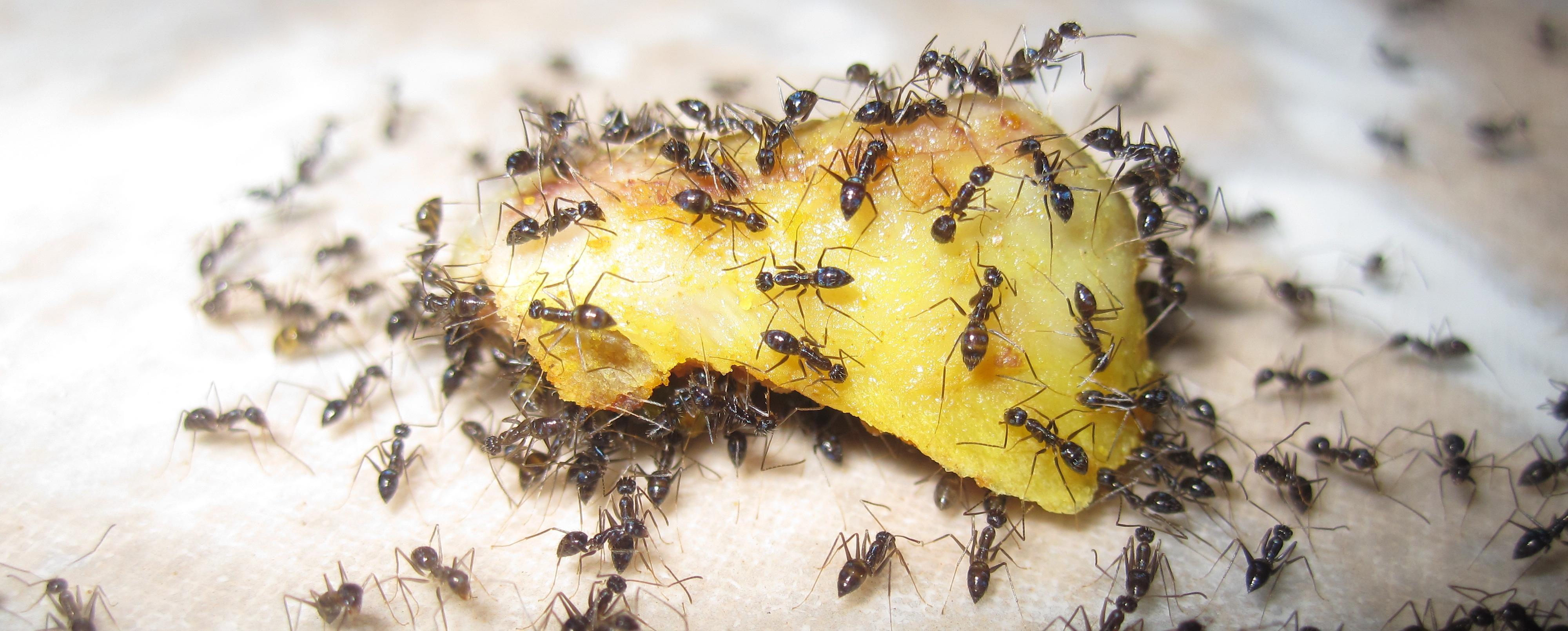 Le formiche