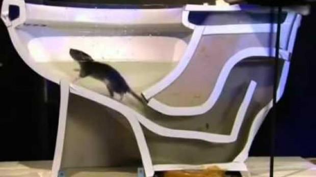 Il ratto che esce dal water