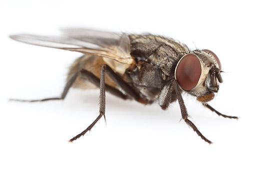 La mosca domestica